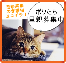 里親募集中の猫