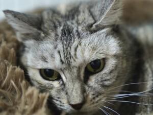 保護猫シルバ